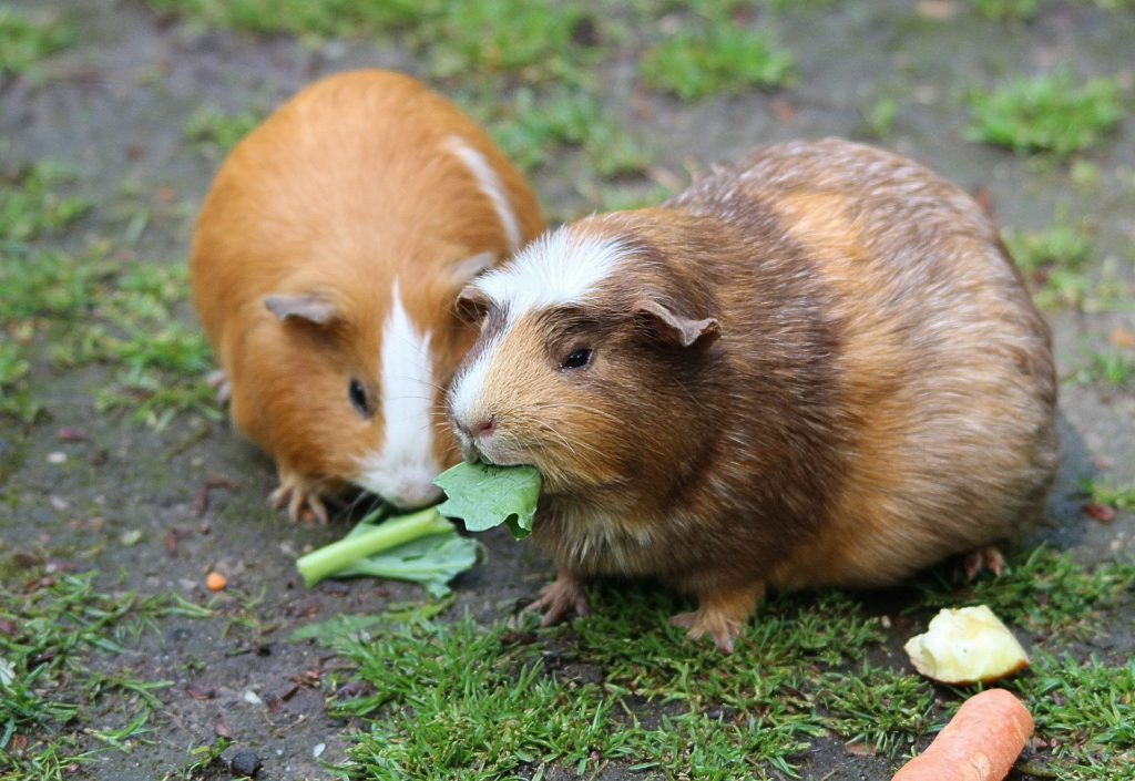 Aliment cochon d'inde
